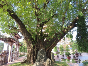 The banyan tree- Best Hue City Tour